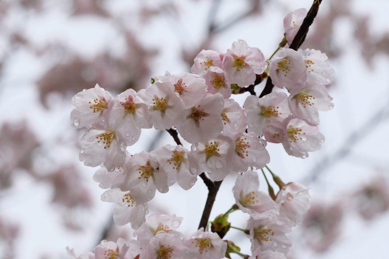 季節の花 サクラ