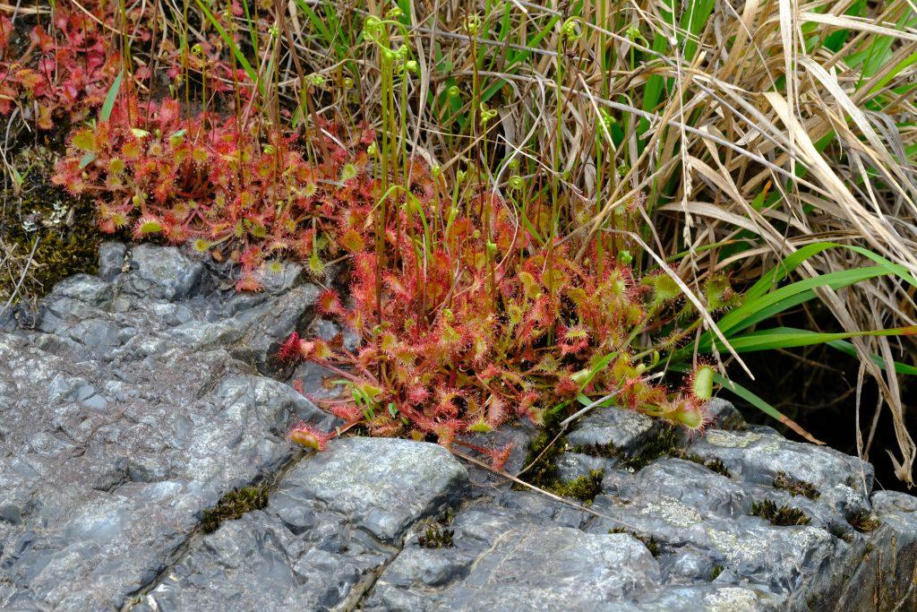 季節の花 モウセンゴケ