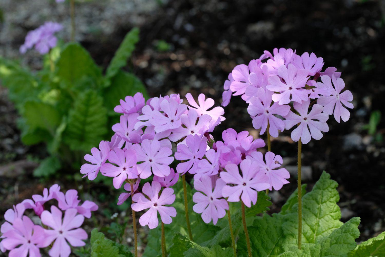 季節の花 サクラソウ
