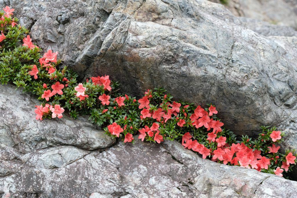 季節の花 サツキ