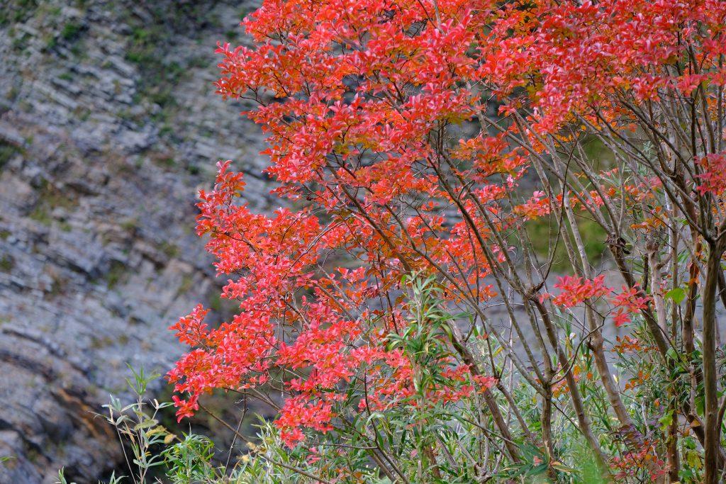 季節の花 サルスベリ
