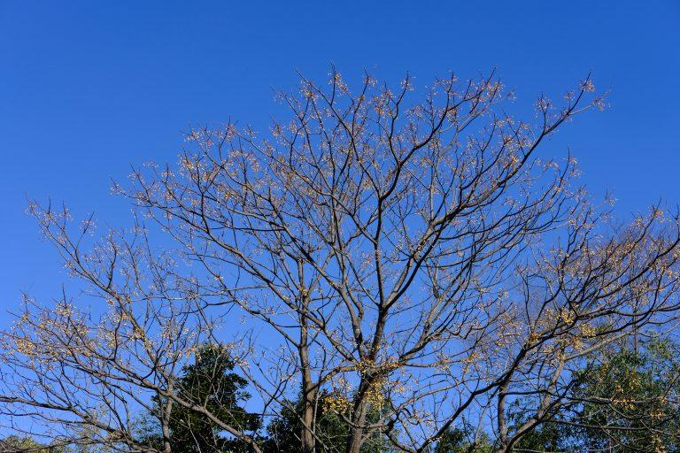 季節の花 センダン