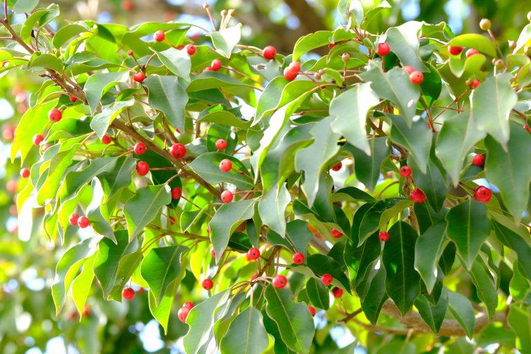 季節の花 ソヨゴ