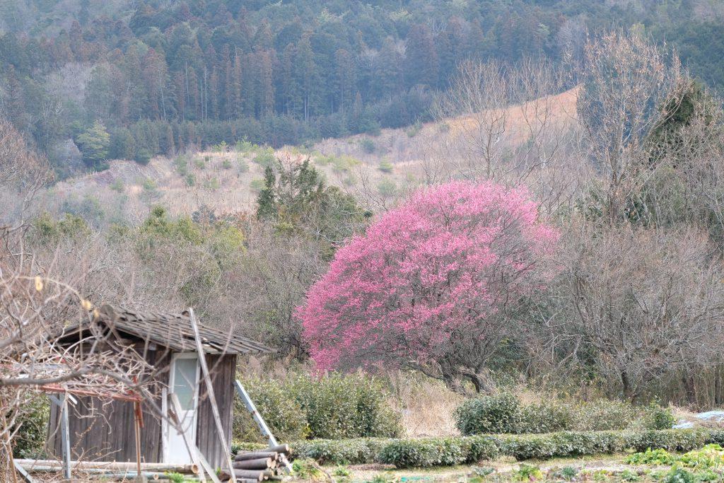 季節の花 紅梅