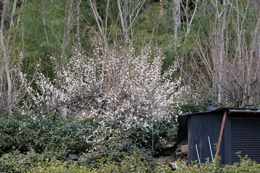 季節の花 白梅