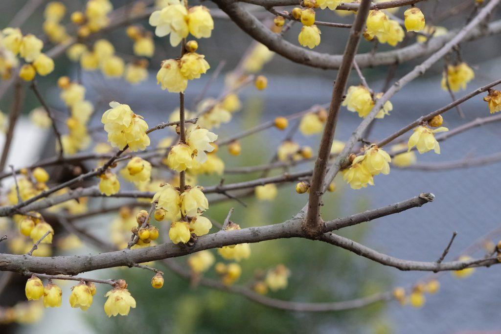 季節の花 ソシンロウバイ