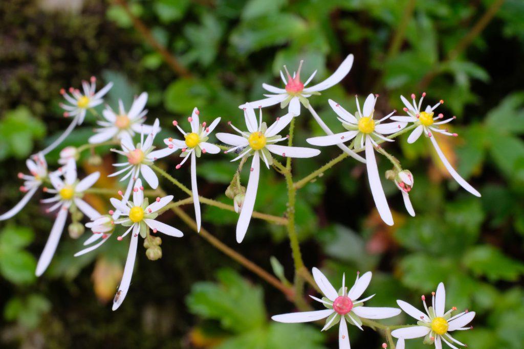 季節の花 ナメラダイモンジソウ