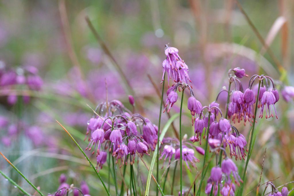 季節の花 ヤマラッキョウ