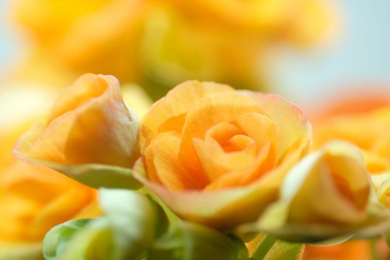季節の花 エラチオール ベゴニア