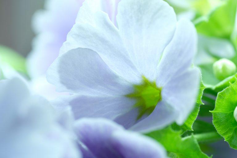 季節の花 プリムラ オブコニカ