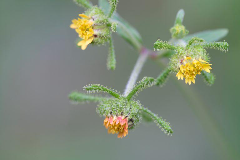 季節の花 コメナモミ