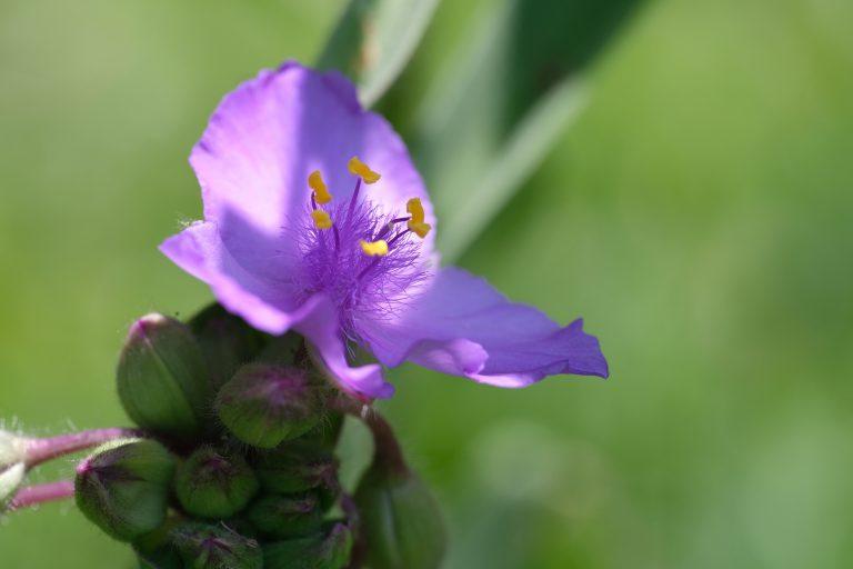 季節の花 オオムラサキツユクサ