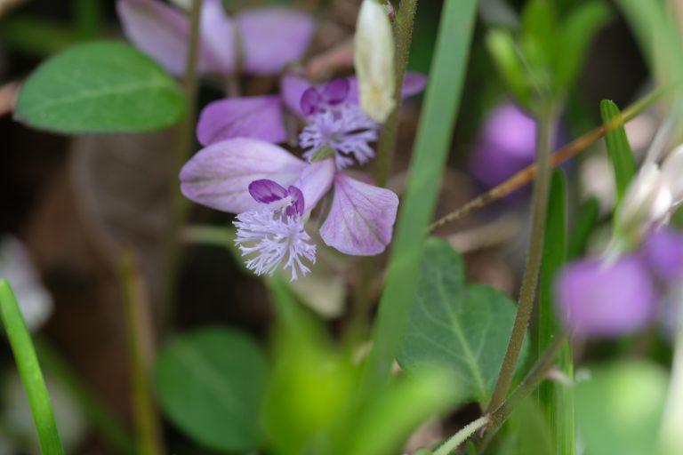 季節の花 ヒメハギ