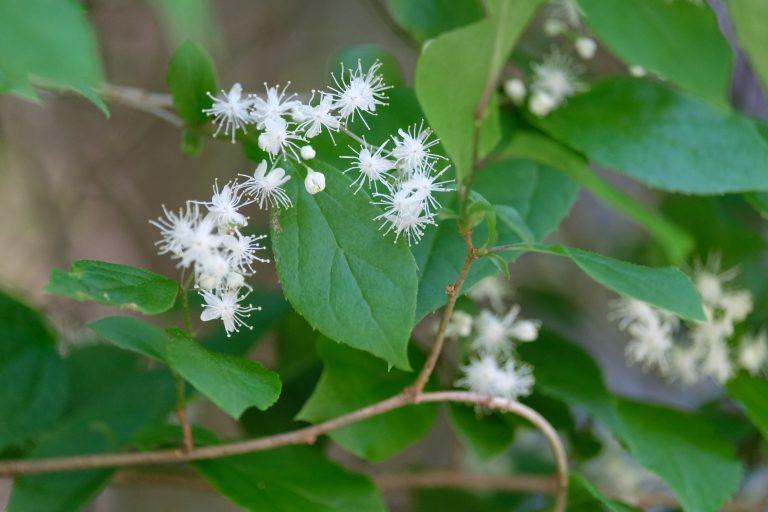 季節の花 サワフタギ