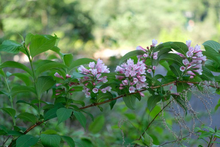 季節の花 タニウツギ